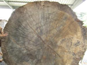 Tree rings visible in a very old Kauri pine