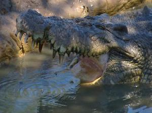 CROCODILES ARE NOT ALWAYS CAMERA SHY