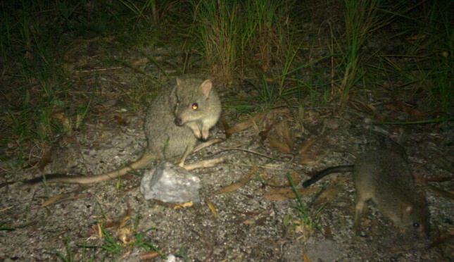 adult bettong with youngster pic Tegan Whitehead