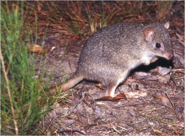 northern Bettong - pic Qld Parks & Wildlife